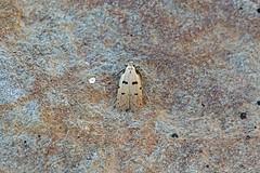 Autostichidae