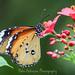 Monarch Butterfly (1)