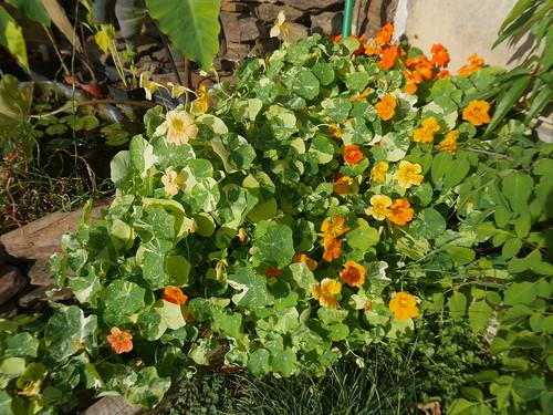 Tropaeolum majus - capucine des jardins 29979104077_57ba8de6ba