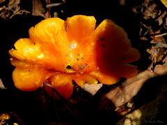 Orange Mushroom.