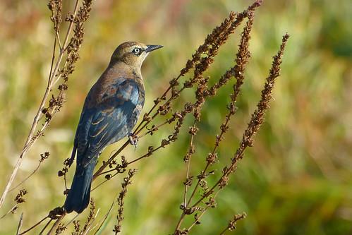 rustyblackbird rusty blackbird euphaguscarolinus euphagus carolinus male