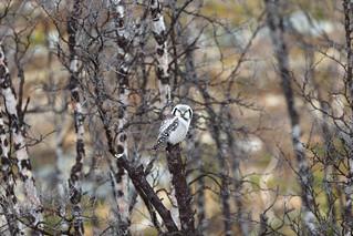 Nordic Hawk owl