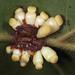 oak leaf gall by myriorama