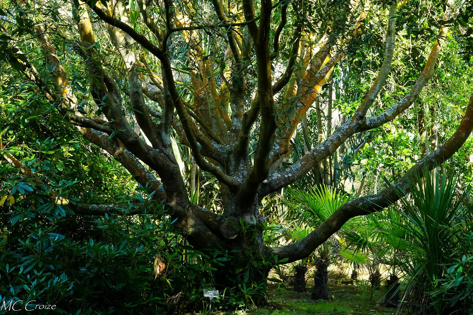 Eucalyptus 43202809150_4ef7a6f0f9_h