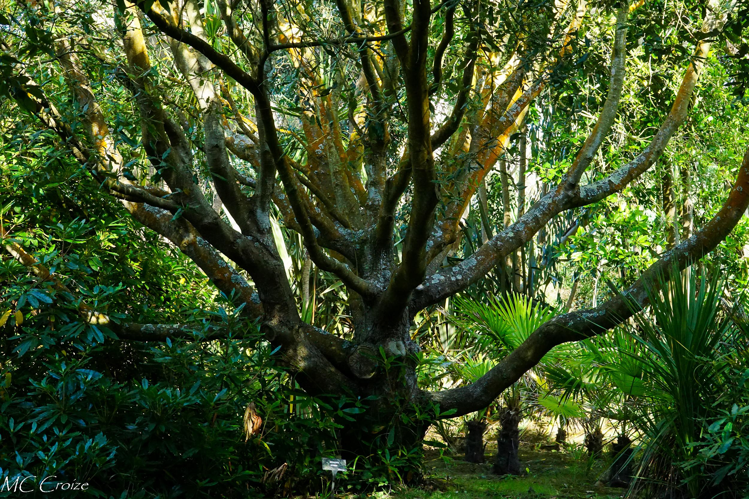 Eucalyptus 43202809150_6f16afa0b3_o