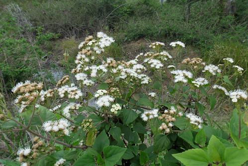 Ageratina adenophora flowerhead NC4