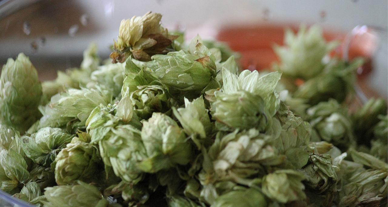 Freshly picked hops. Photo taken on July 14, 2010.
