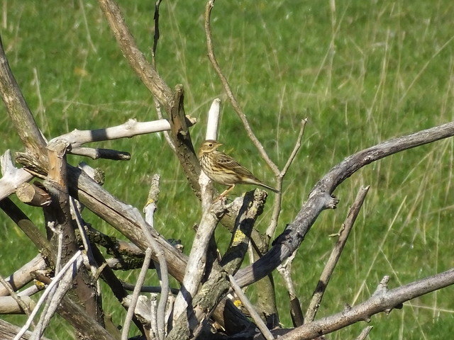 LBJ possibly a pipit?