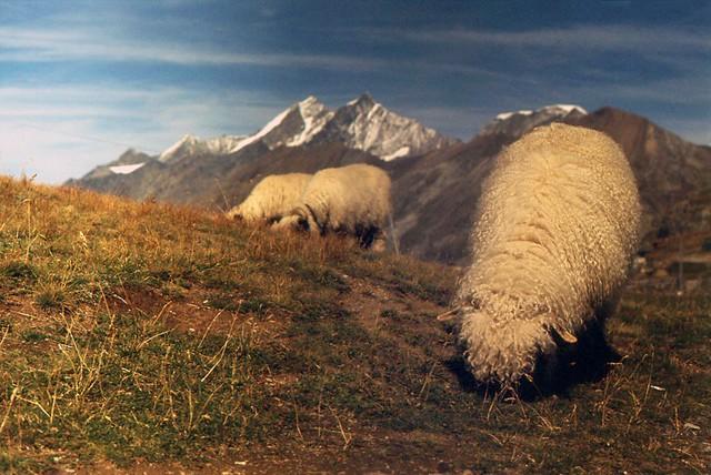 Swiss Sheep