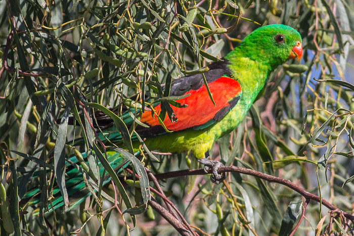 Red-winged Parrot - male