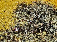 Pequeña abeja en flor lila. Desierto de Atacama Costero. Caldera-Chile