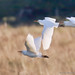 Cattle Egrets_82A2956