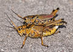 Giant Orange Grasshopper (Getting a Piggyback!)