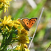 Small Copper butterfly at Chesworth Farm, Horsham