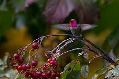 Island Annas Hummingbird
