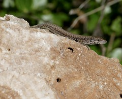 Catalonian Wall Lizard (Podarcis liolepis) male ...