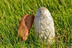 Навозник белый (Coprinus comatus)https://farm2.staticflickr.com/1956/31550047818_1ae93b3737_o.jpg