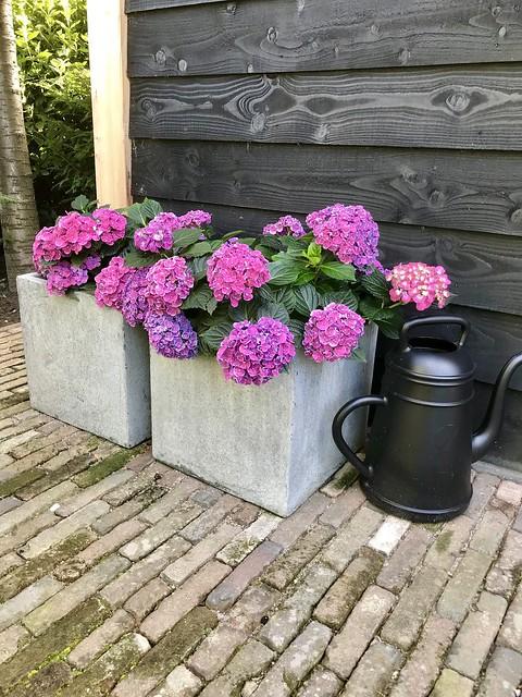 Grijze bakken roze hortensia's zwarte gieter
