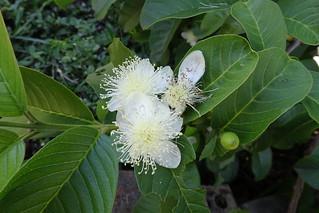 Guava flowering