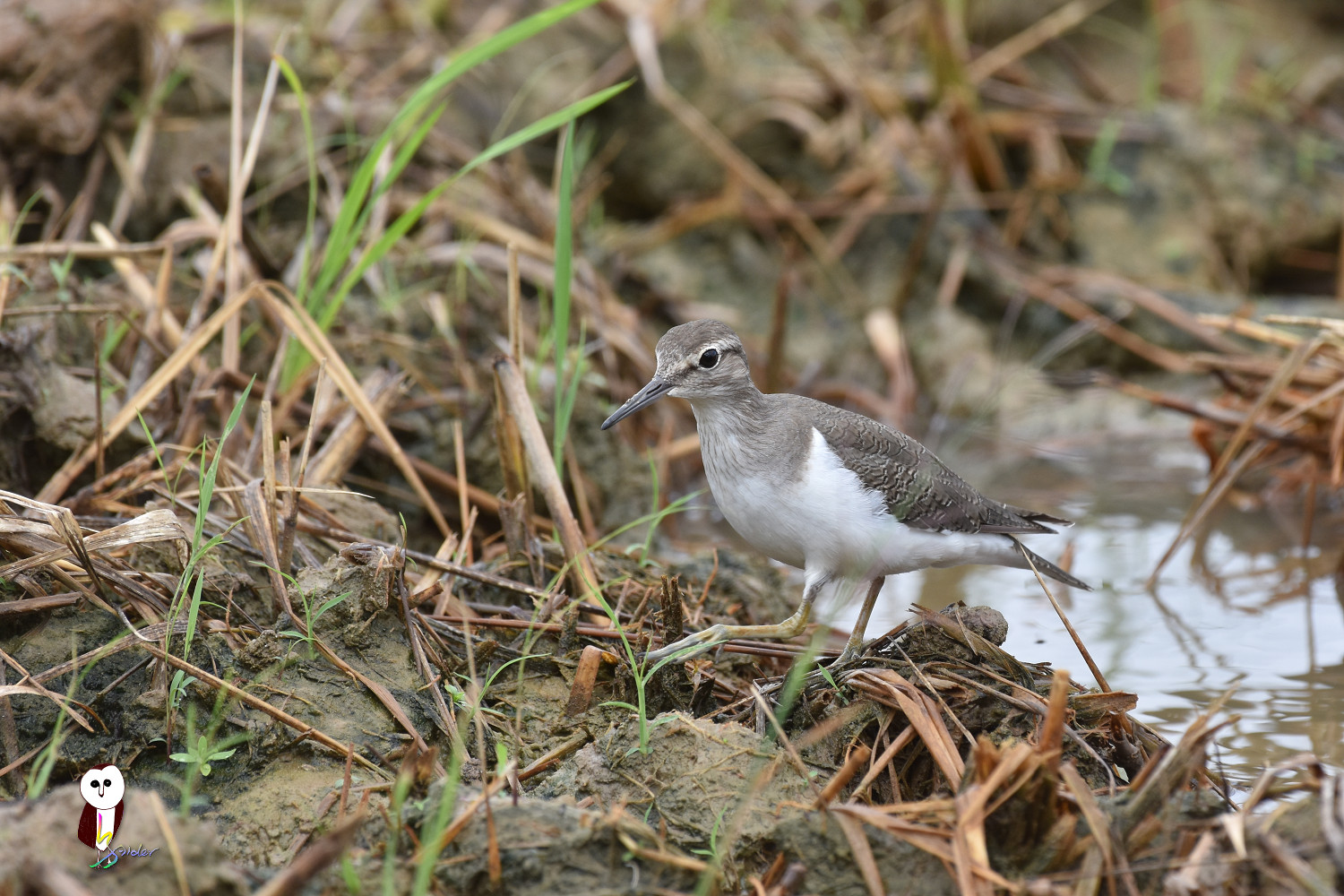 Common_Sandpiper_7560