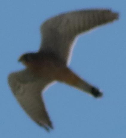 Falco tinnunculusIMG_3014_фрагмент