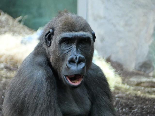 Gorilla, Tierpark Hellabrunn