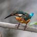 Kingfisher 1809241466.jpg
