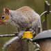 33 Squirrel