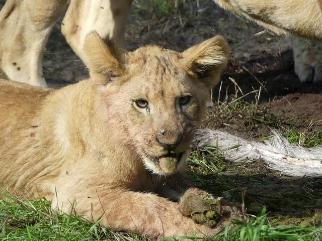 Löwe, Zoo Givskud