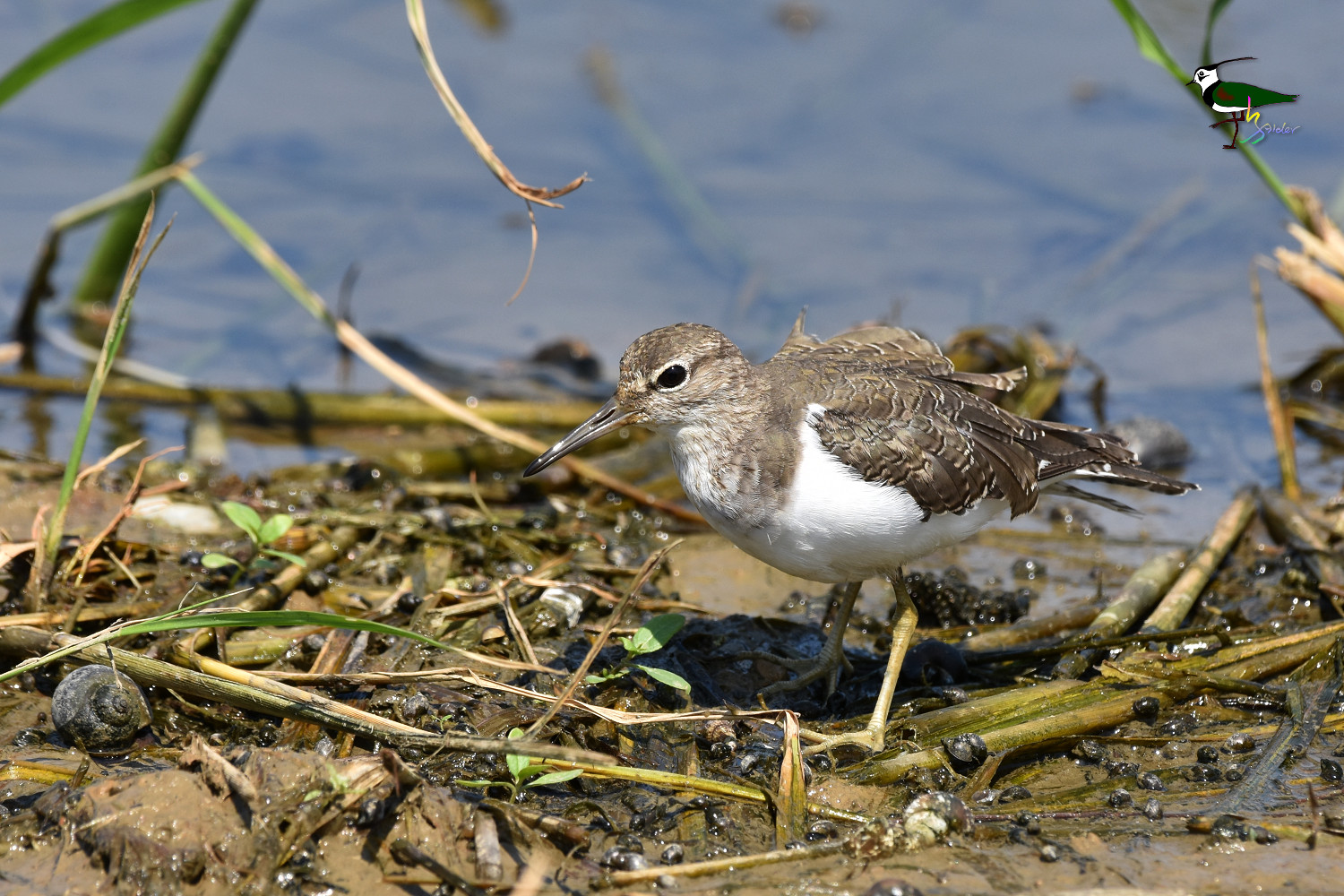 Common_Sandpiper_9248