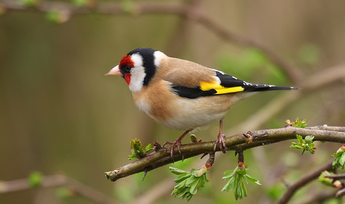 27 Goldfinch