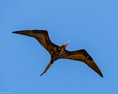 Frigate bird, or Man o' war @ Runaway Bay Jamacia.