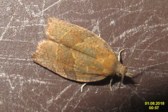 Dark fruit-tree tortrix (NH266)