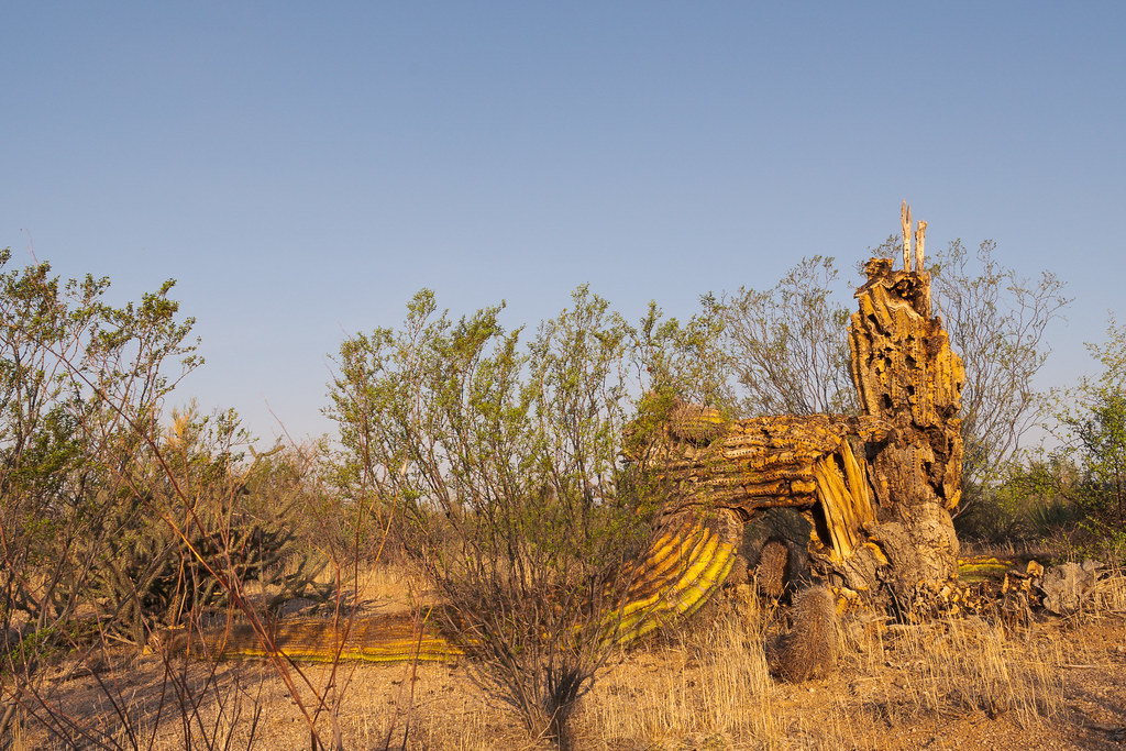 A saguaro has broken apart and fallen over along the Watershed Trail in McDowell Sonoran Preserve