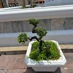 Wat Pho Temple görüntü. tree bonsai bonsaitree watpho bangkokthailand nikond610 nikkor20mmƒ28afd geotagged