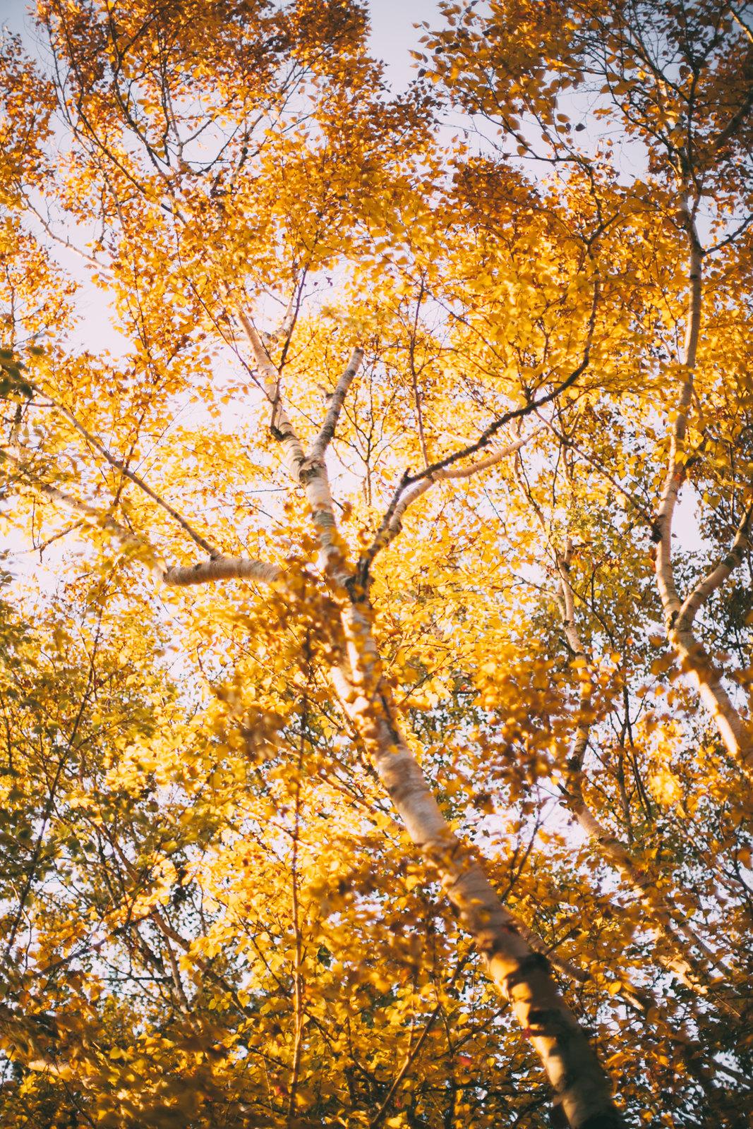 birch trees-40