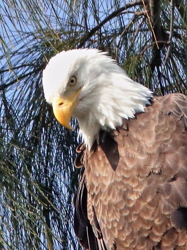 Bald Eagle female Jewel 04-20181007