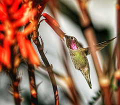 Only one visitor today for about 25 seconds. Aloe has too many branches this year! #Hummingbird #Canon