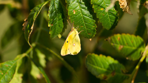 Clouded yellow butterfly, Cassis