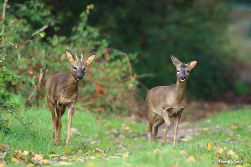 Real natural beauty (roe deer)