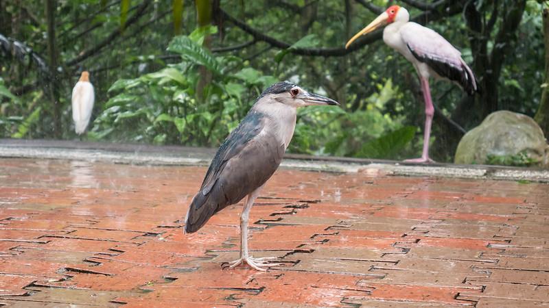 Black-crowned Night Heron and Yellow-billed Strok, KL Bird Park, Kuala Lumpur, Malaysia