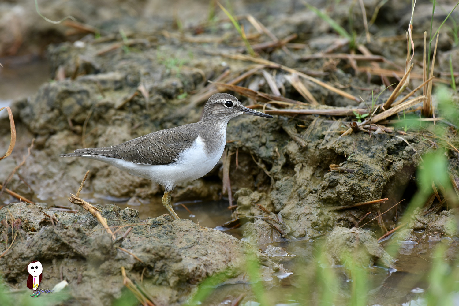 Common_Sandpiper_7604