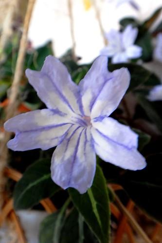 Руэлия с голубыми цветками
