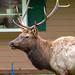 Elk near Crystal Mountain Cabins