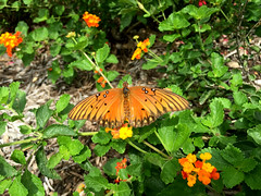 Gulf Fritillary on Texas Lanatana