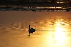 Zwaan in een laat herfst zonnetje 4-11-18