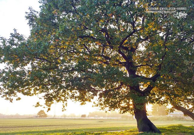 Oak tree in morning light