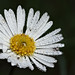 Dew on lawn daisy #1 by Lord V