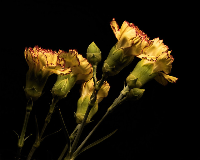 Yellow Carnations 1008, Nikon D810, AF-S VR Micro-Nikkor 105mm f/2.8G IF-ED