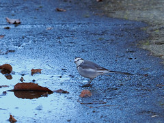 White wagtail (Motacilla alba  lugens, ハクセキレイ)